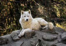 在岩石的北极狼 库存图片