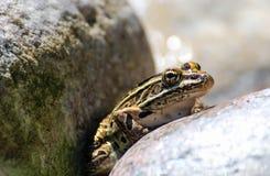 在岩石的北豹子青蛙 库存照片