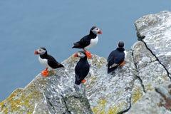 在岩石的四只鸟与蓝色海在背景中 大西洋海鹦, Fratercula artica,与r的北冰的黑白逗人喜爱的鸟 免版税库存图片