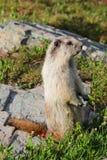 在岩石的土拨鼠在高山草甸 免版税库存图片