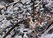 在岩石的土拨鼠 免版税库存图片