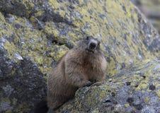 在岩石的土拨鼠 Tatry 免版税库存图片