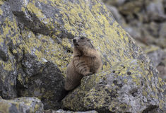 在岩石的土拨鼠 Tatry 库存图片