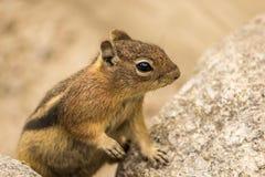 在岩石的地松鼠 免版税图库摄影