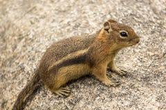 在岩石的地松鼠 图库摄影