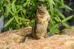 在岩石的地松鼠 库存图片
