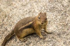 在岩石的地松鼠 免版税库存照片