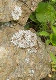 在岩石的墙壁蜥蜴 免版税库存图片