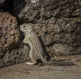 在岩石的墨西哥地松鼠 免版税库存图片