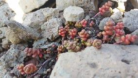 在岩石的多汁植物 免版税库存图片