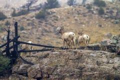 在岩石的大角野绵羊在怀俄明 免版税库存图片