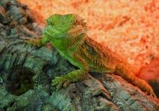在岩石的大绿蜥蜴在红色背景 库存图片