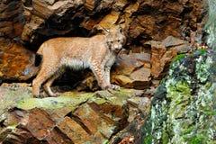 在岩石的天猫座 天猫座,走在与绿色岩石的绿色青苔石头的欧亚野生猫在背景,动物中在自然栖所, 免版税库存图片