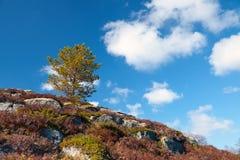 在岩石的小杉树在挪威 免版税库存图片