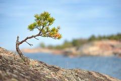 在岩石的小杉树 免版税库存图片