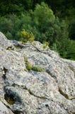 在岩石的小杉树 库存图片