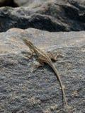 在岩石的小的蜥蜴在自然细节垂直照片 库存照片