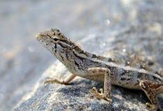 在岩石的小的蜥蜴在自然细节宏指令照片 免版税库存照片