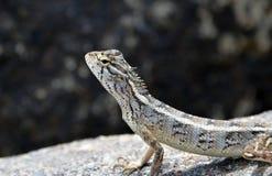 在岩石的小的蜥蜴在自然细节照片 库存图片