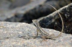 在岩石的小的蜥蜴本质上 库存图片