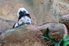 在岩石的小的猴子 库存图片