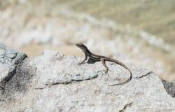 在岩石的小蜥蜴 免版税库存照片