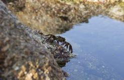 在岩石的小螃蟹 免版税库存照片