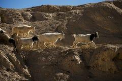 在岩石的山羊在月亮土地Lamayuru拉达克,印度 免版税库存图片