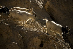 在岩石的山羊在月亮土地Lamayuru拉达克,印度 免版税库存照片