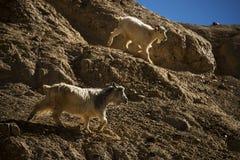 在岩石的山羊在月亮土地Lamayuru拉达克,印度 图库摄影