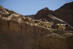 在岩石的山羊在月亮土地Lamayuru拉达克,印度 库存照片