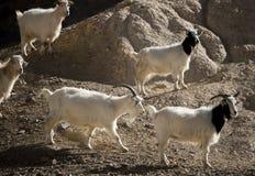 在岩石的山羊 库存图片