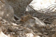 在岩石的岩石非洲蹄兔 免版税库存照片