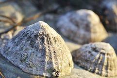 在岩石的帽贝 库存照片