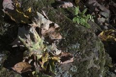 在岩石的干下落的叶子 免版税图库摄影