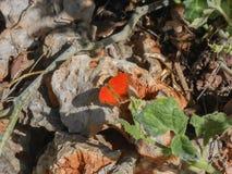 在岩石的干燥叶子蝴蝶 免版税图库摄影