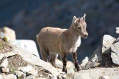 在岩石的幼小高地山羊 库存照片