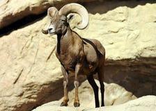 在岩石的强有力,英俊的大角野绵羊 库存照片