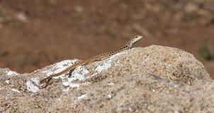 在岩石的意大利墙壁蜥蜴, Populonia 库存图片