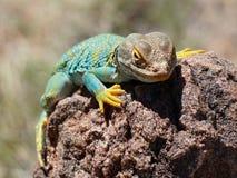 在岩石的抓住衣领口的蜥蜴 库存图片