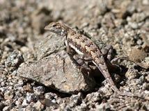 在岩石的斑马被盯梢的蜥蜴 免版税库存图片