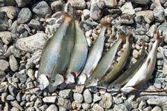 在岩石的新狂放的鱼谎言 库存照片