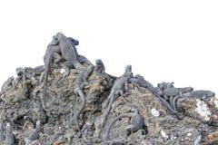 在岩石的晒日光浴的鬣鳞蜥小组 库存照片