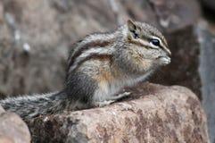 在岩石的最少花栗鼠 库存图片