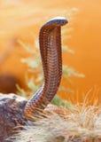 在岩石的有毒眼镜蛇 库存图片