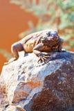 在岩石的机敏的Chuckwalla 免版税图库摄影