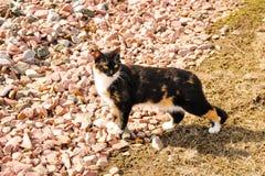 在岩石的杂色猫 免版税库存图片