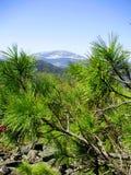 在岩石的杉木分支 图库摄影