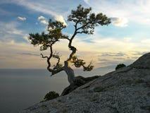 在岩石的杉木在海附近 图库摄影