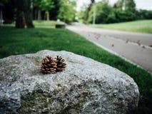 在岩石的杉木锥体 图库摄影